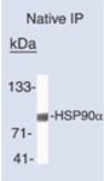 Immunoprecipitation - Hsp90 alpha antibody (ab74248)