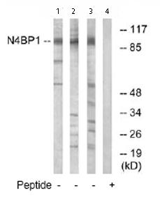 Western blot - N4BP1 antibody (ab74260)