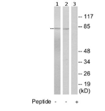 Western blot - SLC9A7 antibody (ab74287)