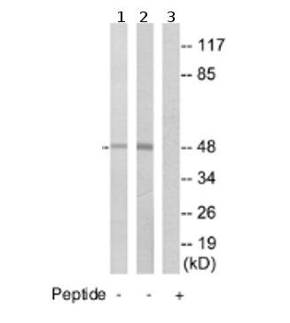 Western blot - NBPF7 antibody (ab74297)