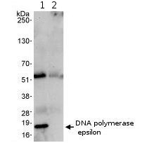 Immunoprecipitation - DNA Polymerase epsilon antibody (ab74308)