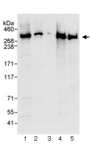 Western blot - Alpha Fodrin antibody (ab74311)