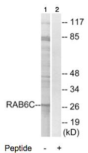 Western blot - RAB6C antibody (ab74453)