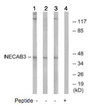 Western blot - NECAB3 antibody (ab74459)