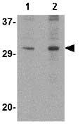 Western blot - DNAL1 antibody (ab74467)