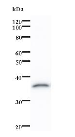 Western blot - OVOL1 antibody [460C1a] (ab74520)