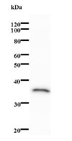 Western blot - TAF1B antibody [938C6a] (ab74550)