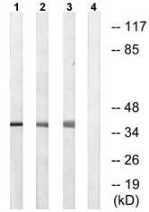 Western blot - ENDOGL1 antibody (ab74566)