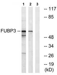 Western blot - FUBP3 antibody (ab74570)