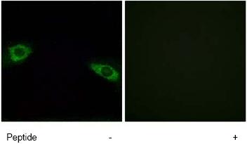 Immunocytochemistry/ Immunofluorescence - RPS4Y1 antibody (ab74709)