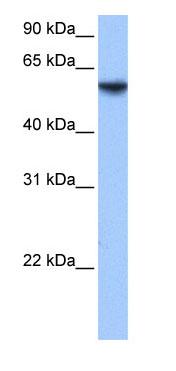 Western blot - ISYNA1 antibody (ab74721)