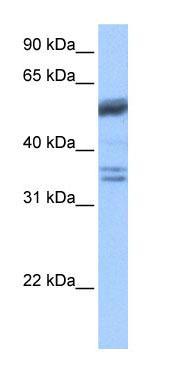 Western blot - Coilin antibody (ab74739)