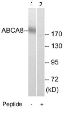 Western blot - ABCA8 antibody (ab74809)