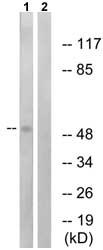 Western blot - SNT2 antibody (ab74861)