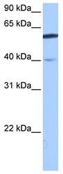 Western blot - LOC91614 antibody (ab74920)