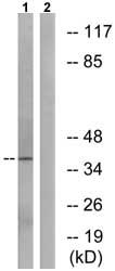 Western blot - MOT13 antibody (ab74938)