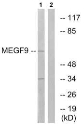 Western blot - MEGF9 antibody (ab74939)