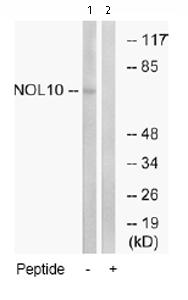 Western blot - NOL10 antibody (ab74986)