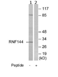 Western blot - RNF144 antibody (ab75054)