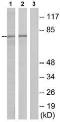 Western blot - HSPA1L antibody (ab75115)