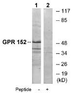 Western blot - GPR 152 antibody (ab75130)