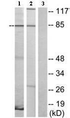 Western blot - VN1R2 antibody (ab75135)