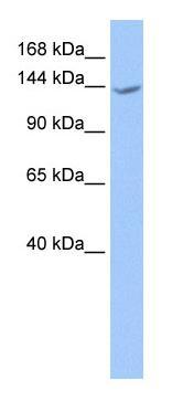 Western blot - CACHD1 antibody (ab75141)