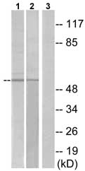 Western blot - CG028 antibody (ab75156)