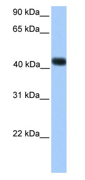 Western blot - SSBP4 antibody (ab75161)