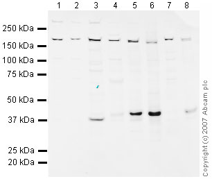 Western blot - SOX2 antibody - Embryonic Stem Cell Marker (ab75179)