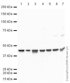 Western blot - beta Actin antibody - Loading Control (ab75186)