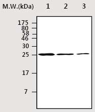 Western blot - Hsp27 antibody [AF5E5] (ab75274)
