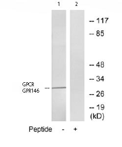 Western blot - GPCR GPR146 antibody (ab75423)