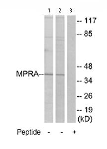 Western blot - MPRA antibody (ab75508)