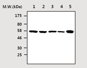Western blot - Smad3 antibody [AF9F7] (ab75512)