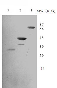 Western blot - DNA Gyrase B antibody [7D3] - Aminoterminal end (ab75586)