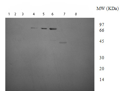 Western blot - DNA Gyrase B antibody (ab75596)