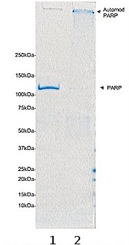 SDS-PAGE - PARP protein (Automodified) (ab75605)