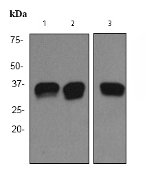 Western blot - PACT (PKR activating protein) / PRKRA antibody [EPR3224] (ab75749)