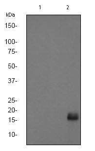Western blot - eIF4EBP1 (phospho T70) antibody [EPR654(2)AY] (ab75831)