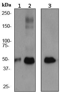 Western blot - PABPN1 antibody [EP3000Y] (ab75855)