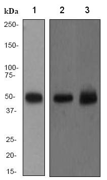 Western blot - PTP1B antibody [EP1841Y] (ab75856)