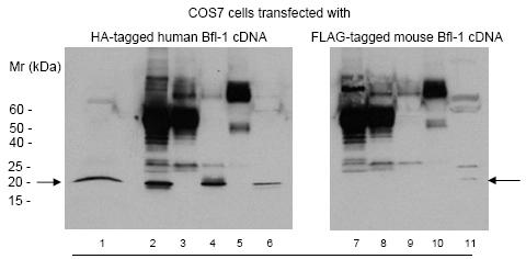 Western blot - Bcl2A1 antibody (ab75887)