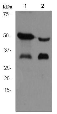 Western blot - Adiponectin antibody [EPR3217] (ab75989)