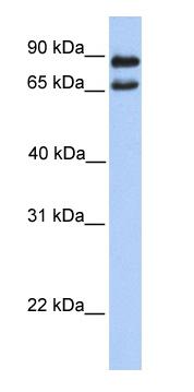 Western blot - C9orf117 antibody (ab76053)