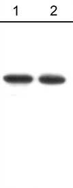 Western blot - N Cadherin antibody (ab76057)