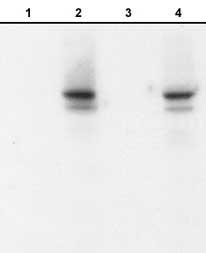 Western blot - N Cadherin (phospho Y820) antibody (ab76059)