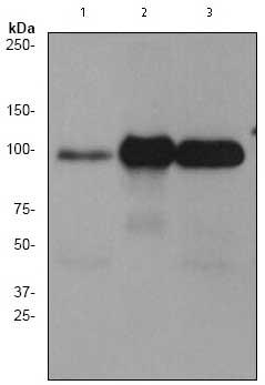 Western blot - PSD95 antibody [EP2652Y] (ab76115)