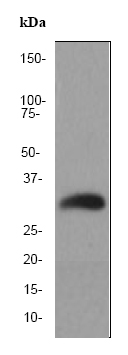 Western blot - Endo G antibody [EP1665Y] - Carboxyterminal end (ab76122)
