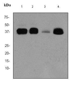 Western blot - MSI2 antibody [EP1305Y] (ab76148)